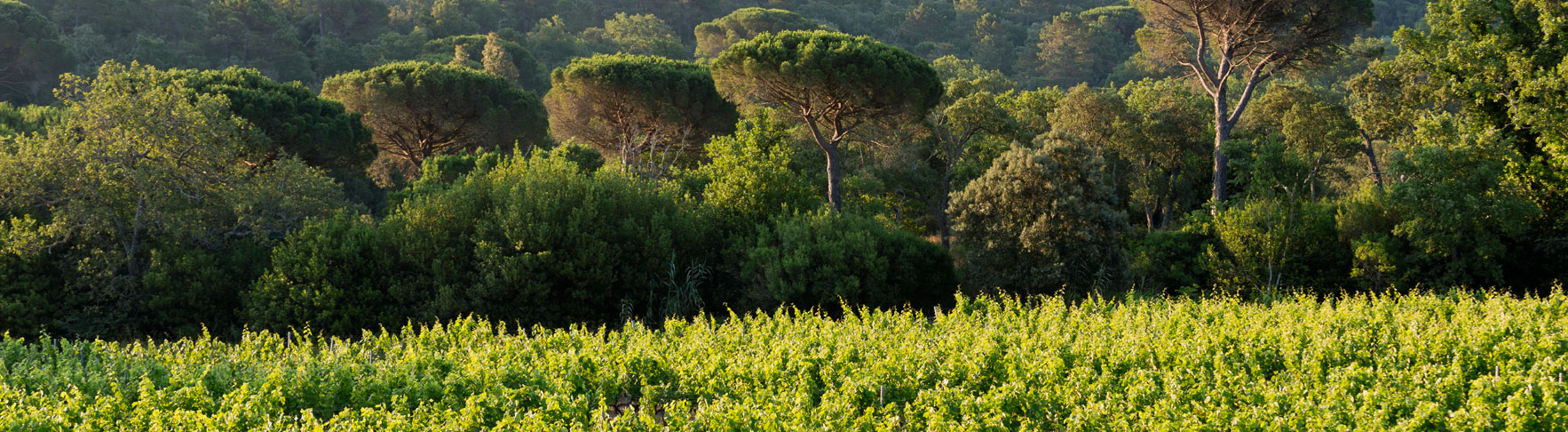 big trees behind green rows of grape growing on a mountain of barbeyrolles vineyard in France
