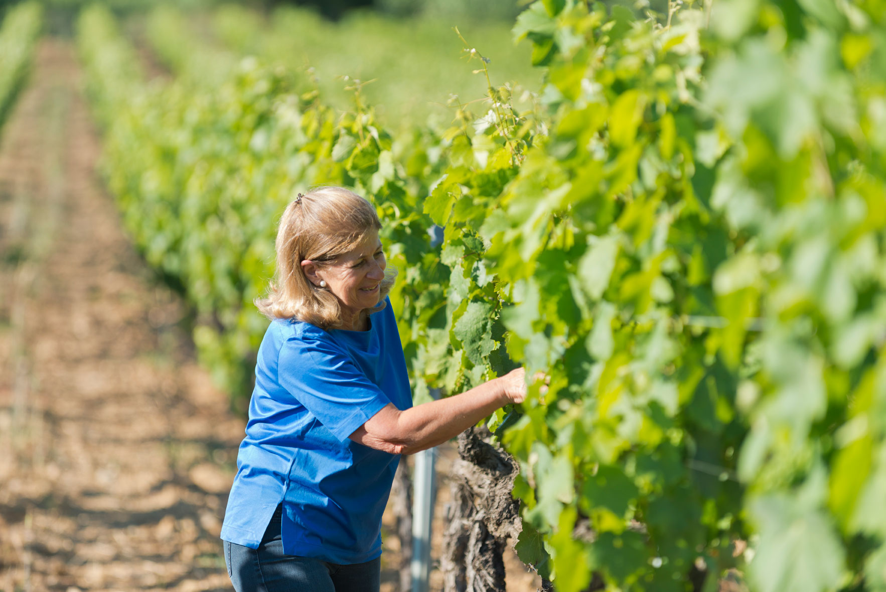 a women picking grape as hand picking grape for manual harvesting for wines in barbeyrolles vineyard in France