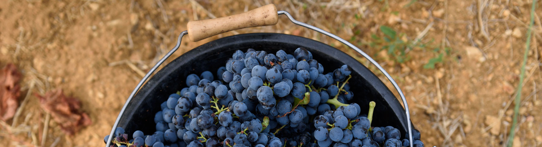 blue grapes in a bucket after harvesting of barbeyrolles vineyard in France