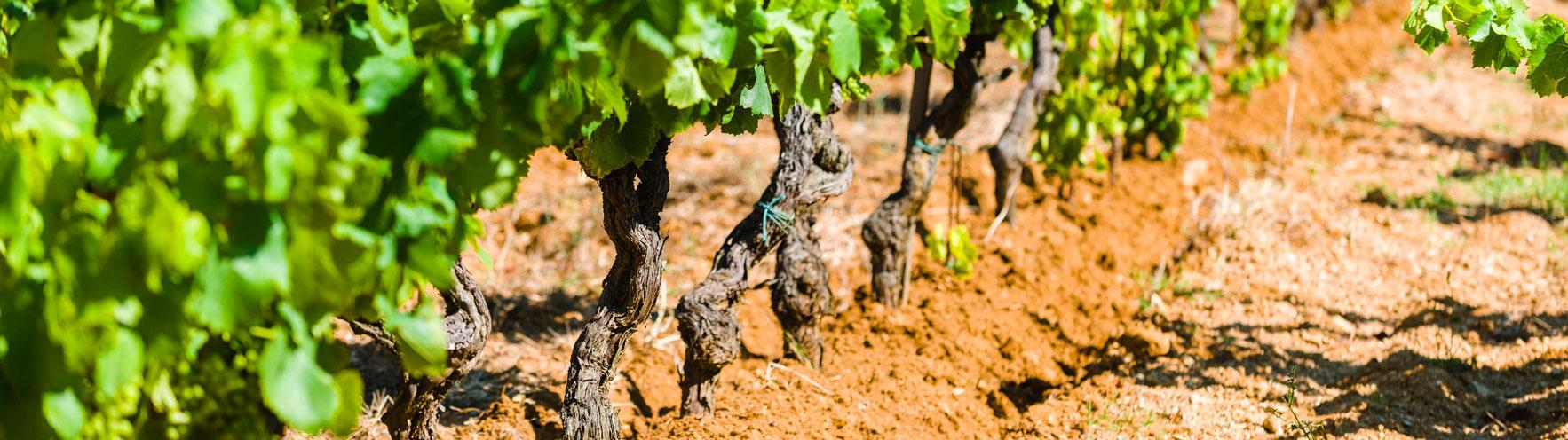 green rows of grape growing on soil in barbeyrolles vineyard in France