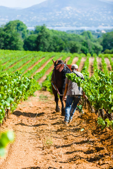 a man with a horse between green rows of grape growing on a mountain with big trees and river in the background of barbeyrolles vineyard in France