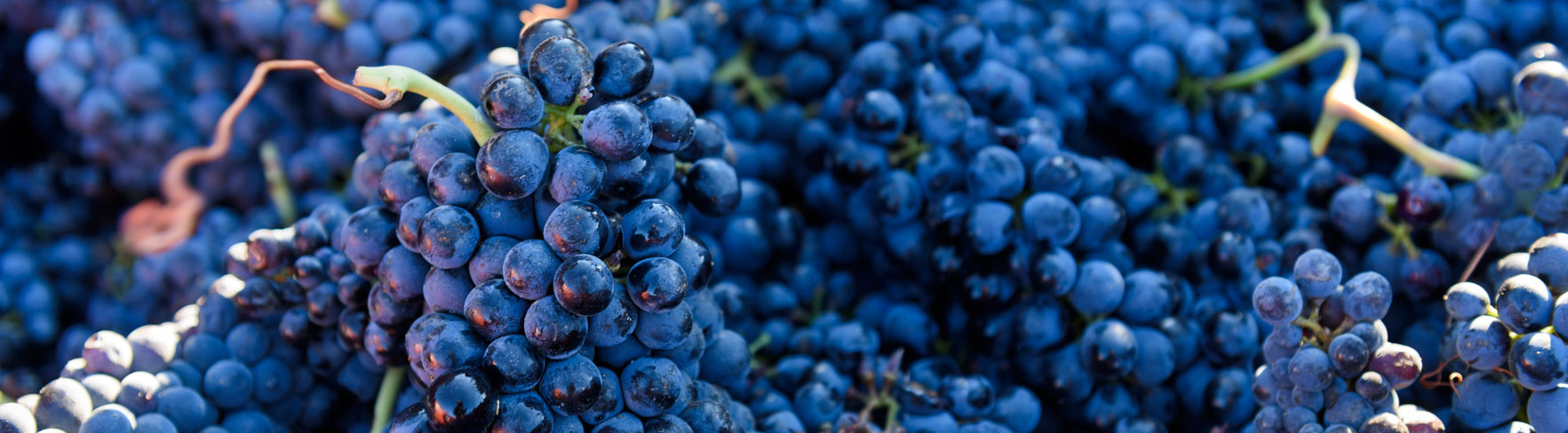 bright blue grapes after picking of barbeyrolles vineyard in France