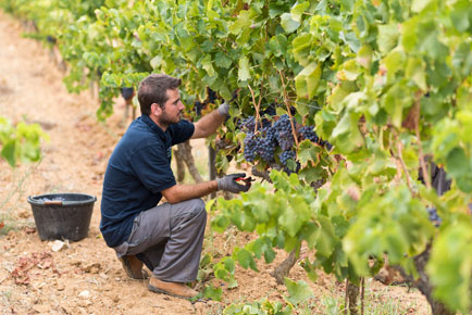 a man picking grape as hand picking grape for manual harvesting for wines in barbeyrolles vineyard in France