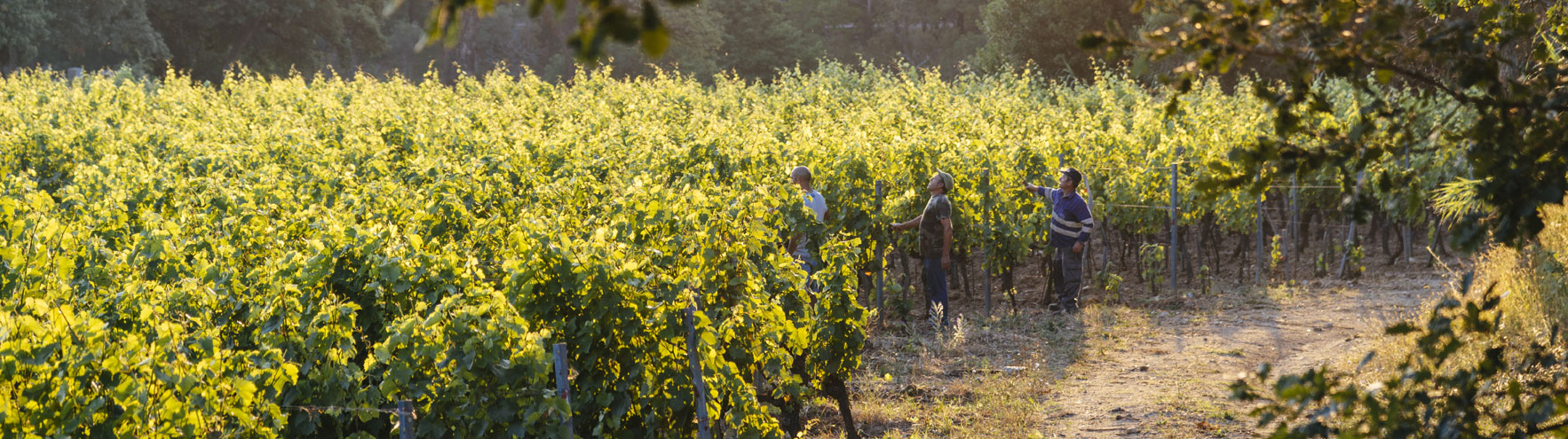 grape picking in green rows of grape growing in barbeyrolles vineyard in Gassin, Frence